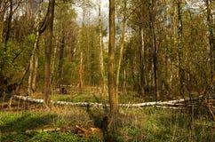 Bos in de vroege lente Stock Afbeeldingen