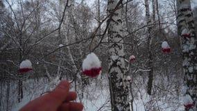 Bos in de winter Heel wat sneeuw POV Video van de eerste persoon Het mannetje plukt van de boom bevroren rode bessen met de hand stock video
