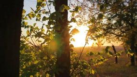 Bos in de zonsondergang, bomenclose-up stock footage
