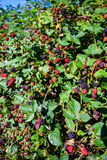 Bos eetbaar fruit royalty-vrije stock foto