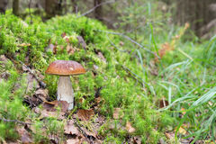 Bos eetbare paddestoel met bruin GLB in het gras Royalty-vrije Stock Afbeeldingen