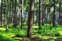 Bos en zonstralen Stock Afbeelding