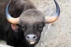 Bos gaurus frontalis Royalty Free Stock Photo
