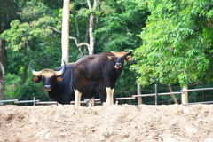 Bos gaurus (Gaur, Indian Bison) Royalty Free Stock Photography
