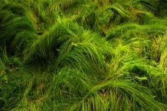 Bos gras Stock Foto