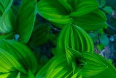Bos groene kleurrijke bladerenclose-up De foto schildert macromening o af Stock Afbeeldingen