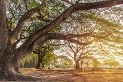 Bos grote Boom met zonlicht in openbaar park royalty-vrije stock foto's
