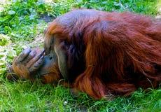 Bos het Parkdierentuin van orangoetanseattle Royalty-vrije Stock Foto's