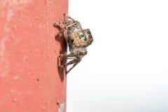 Bos het springen spin Royalty-vrije Stock Afbeelding