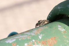 Bos het springen spin Stock Afbeelding