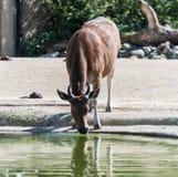Bos javanicus di Banteng a Chester Zoo, Cheshire Fotografia Stock Libera da Diritti