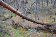 Bos landschap Gevallen over de Kreek de pijnboomboom Na het onweer Stock Foto
