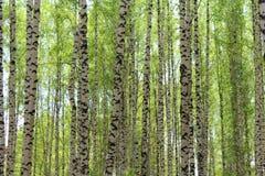 Bos in lente, de groen met, berkboomstammen, in de middag, in natuurlijke voorwaarden stock afbeelding
