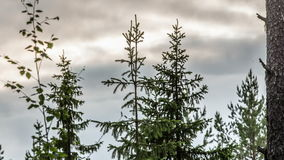Bos met bomen in Scandinavië stock video
