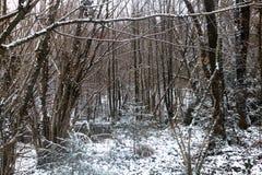 Bos met sneeuw in de winter, bomen met oranje bladeren wordt behandeld dat stock afbeelding