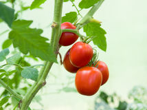 Bos met vijf rode tomaten Royalty-vrije Stock Afbeeldingen