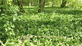 Bos met wild knoflook die ramson en in de lente groeien bloeien Brandenburg, Duitsland stock video