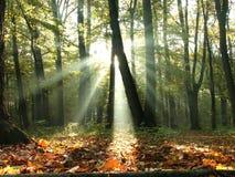 Bos met zonstralen door de bomen royalty-vrije stock afbeeldingen