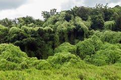 Bos in Mikania wordt behandeld die Stock Fotografie