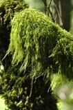 Bos mos stock afbeeldingen