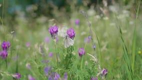 Bos Open plek De vlinders zitten op bloemen, verzamelen stuifmeel Witte vlinder stock video