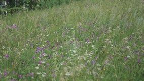 Bos Open plek De vlinders zitten op bloemen, verzamelen stuifmeel Witte vlinder stock footage