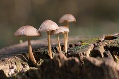 Bos paddestoelen Stock Fotografie