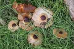 Bos paddestoelen in het gras Stock Afbeelding