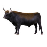 Bos primigenius, Aurochs Stock Photos