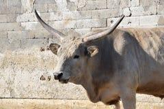 Bos Primigenius Taurus Hungarian Grey Taurus Stock Photo. Bos Primigenius Taurus Hungarian Grey Taurus Head Closeup Stock Photo royalty free stock images