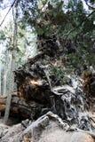 Bos, sequoia Om aard te bewaren royalty-vrije stock foto