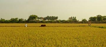 Bos-Stier auf einem Goldgebiet Lizenzfreies Stockfoto