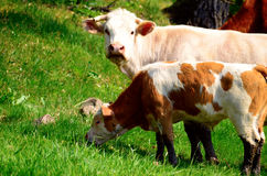 Bos taurus and a calf. Bos taurus cows and calf on grazing stock photo