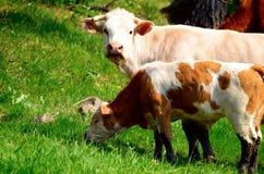 Bos taurus e un vitello Fotografia Stock