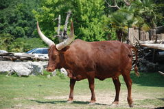 Bos taurus - Ox of Watussi Royalty Free Stock Images