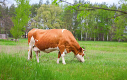 Bos taurus taurus cow in the meadow Royalty Free Stock Photos