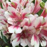 Bos van Alstroemeria-lelies royalty-vrije stock foto's