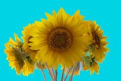 Bos van backlit zonnebloemen die tegen een blauwe hemel bloeien Royalty-vrije Stock Afbeelding