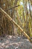 Bos van bamboe met een bamboetak gevallen Stock Foto's