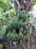 Bos van Banaan Stock Afbeeldingen