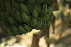 Bos van banaan het hangen van boom royalty-vrije stock foto