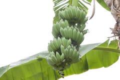 Bos van banaan op boom op witte achtergrond wordt geïsoleerd die stock afbeeldingen