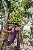 Bos van bananen Royalty-vrije Stock Fotografie