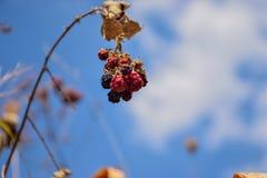 Bos van bessen rijpe braambes tegen de blauwe de zomerhemel, natuurlijke zoetheid Royalty-vrije Stock Foto