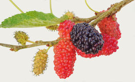Bos van Blackberry stock afbeelding