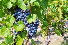 Bos van blauwe druiven stock afbeelding