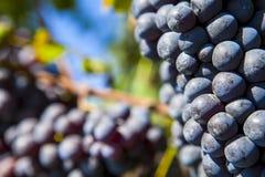 Bos van blauwe druiven royalty-vrije stock afbeelding