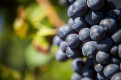 Bos van blauwe druiven stock afbeeldingen