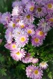 Bos van bleek - het roze chrysant groeien in tuin-1 royalty-vrije stock afbeeldingen