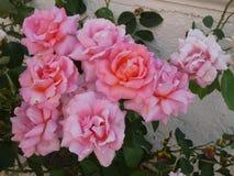 Bos van bloeiende roze rozen Stock Afbeelding